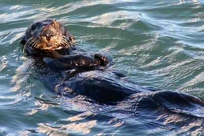 Moss Landing Otter