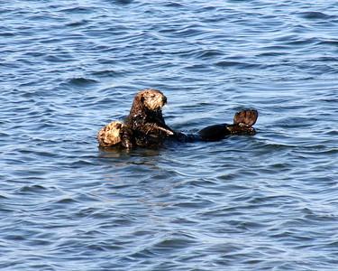 Moss Landing Otter duet