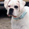 Hartbreaker dog 677