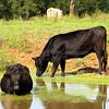 Cows 1546