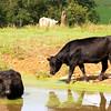 Cows 1545
