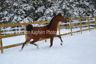 Playing in the Snow Logan the Arabian