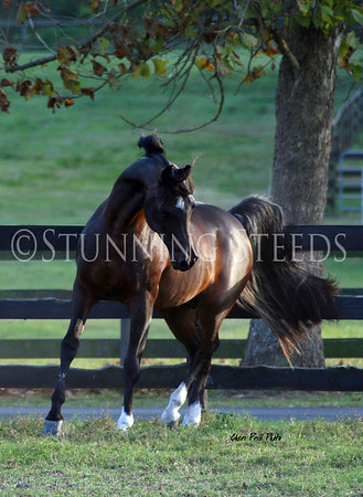 Magnolia Farm Arabians