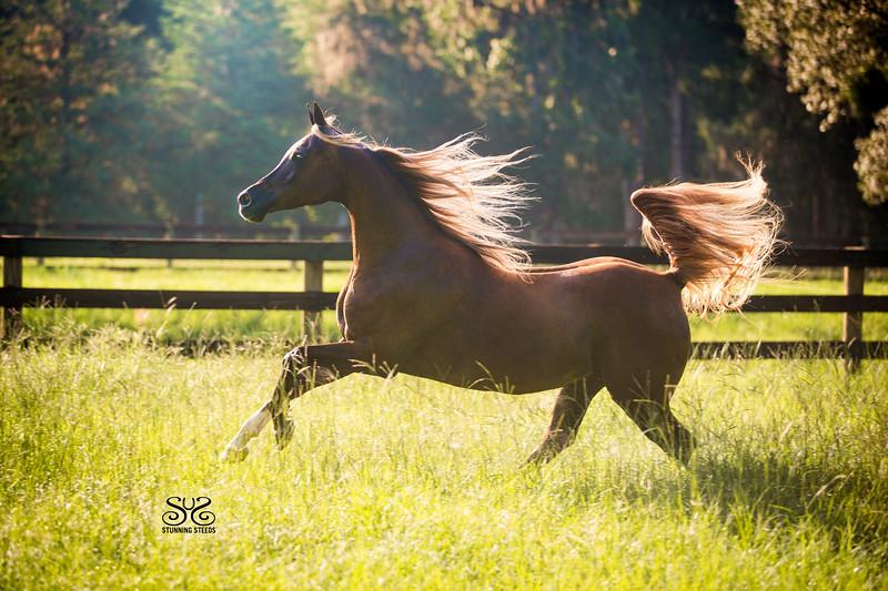 StunningSteedsPhoto-HR-8230-OchoaArab