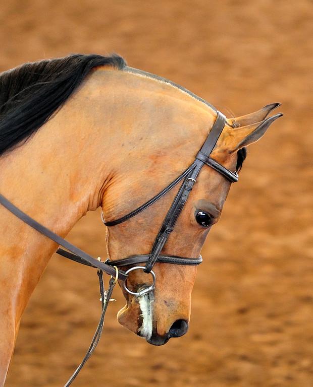 Arabian  AZ _51