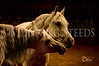 Arabians - Saddlebreds - Morgans - Hackneys - NSH : 58 galleries with 4887 photos
