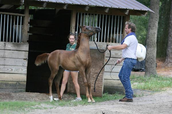 Wolfe Arabians 9.2.2007