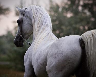 Acevado Arabians