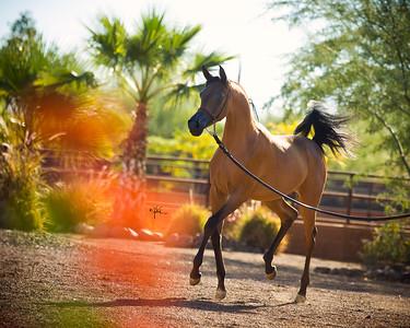 Arabians International