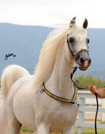 Arabian Breeders Celebration 2012