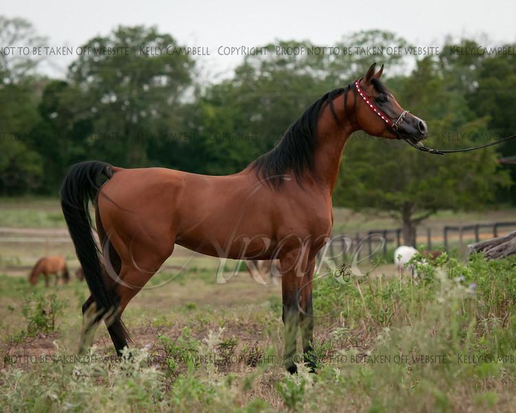 Bey Stallion SH-8968 fin