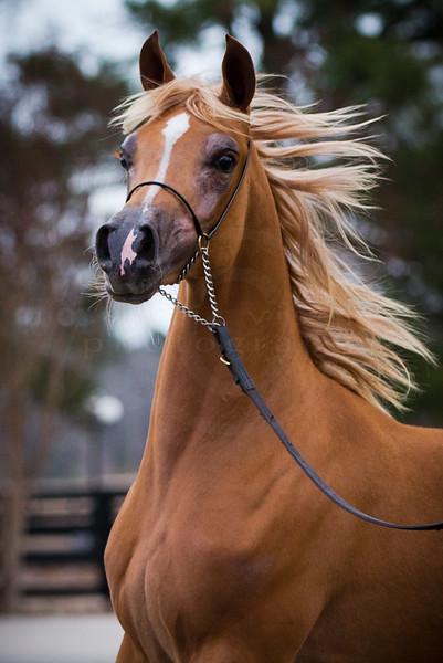 KW Arabians