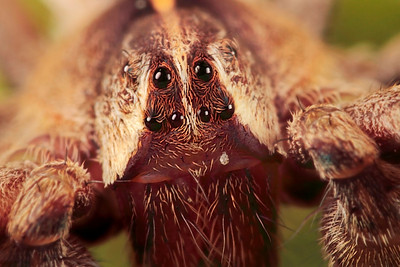 Portrait of a large hunting spider. The picture has been made with magnification factor 6 and f/11.  Spiders (order Araneae) are air-breathing arthropods that have eight legs, and chelicerae with fangs that inject venom. They are the largest order of arachnids and rank seventh in total species diversity among all other groups of organisms. Spiders are found worldwide on every continent except for Antarctica, and have become established in nearly every habitat with the exception of air and sea colonization. As of 2008, approximately 40,000 spider species, and 109 families have been recorded by taxonomists; however, there has been confusion within the scientific community as to how all these families should be classified, as evidenced by the over 20 different classifications that have been proposed since 1900 (source: Wikipedia).