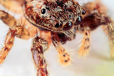 A portrait of a jumping spider, made with magnification 6 and f/11.  The jumping spider family (Salticidae) contains more than 500 described genera and about 5,000 described species, making it the largest family of spiders with about 13% of all species. Jumping spiders have good vision and use it for hunting and navigating. They are capable of jumping from place to place, secured by a silk tether. Jumping spiders are active hunters, which means that they do not rely on a web to catch their prey. Instead, these spiders stalk their prey. They use their superior eyesight to distinguish and track their intended meals, often for several inches. Then, they pounce, giving the insect little to no time to react before succumbing to the spider's venom. They are capable of learning, recognizing, and remembering colours (source: Wikipedia).