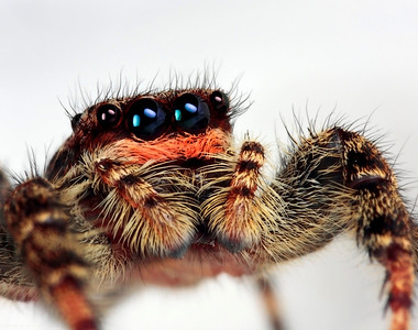Rather large jumping spider, made with magnification factor 3 and f/16.