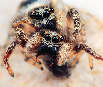 A frontal view of to mating jumping spiders, made with magnification 4 and f/14.   The jumping spider family (Salticidae) contains more than 500 described genera and about 5,000 described species, making it the largest family of spiders with about 13% of all species. Jumping spiders have good vision and use it for hunting and navigating. They are capable of jumping from place to place, secured by a silk tether. Jumping spiders are active hunters, which means that they do not rely on a web to catch their prey. Instead, these spiders stalk their prey. They use their superior eyesight to distinguish and track their intended meals, often for several inches. Then, they pounce, giving the insect little to no time to react before succumbing to the spider's venom. They are capable of learning, recognizing, and remembering colours (source: Wikipedia).