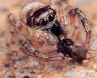 Jumping Spiders - huubdewaard