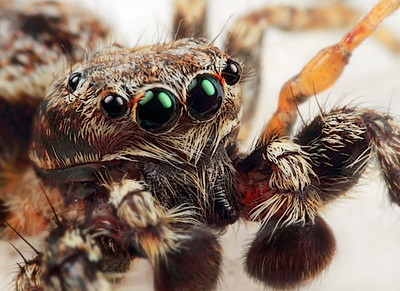 A frontal view of a rather large jumping spider, made with magnification 4 and f/16.   The jumping spider family (Salticidae) contains more than 500 described genera and about 5,000 described species, making it the largest family of spiders with about 13% of all species. Jumping spiders have good vision and use it for hunting and navigating. They are capable of jumping from place to place, secured by a silk tether. Jumping spiders are active hunters, which means that they do not rely on a web to catch their prey. Instead, these spiders stalk their prey. They use their superior eyesight to distinguish and track their intended meals, often for several inches. Then, they pounce, giving the insect little to no time to react before succumbing to the spider's venom. They are capable of learning, recognizing, and remembering colours (source: Wikipedia).