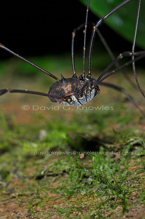 Long hairlike legs, peppered white undercarriage, and single thornlike spine on top the back are typical of this Family of Harvestmen. I am unsure as to whether the spine has some sort of defensive or decorative purpose