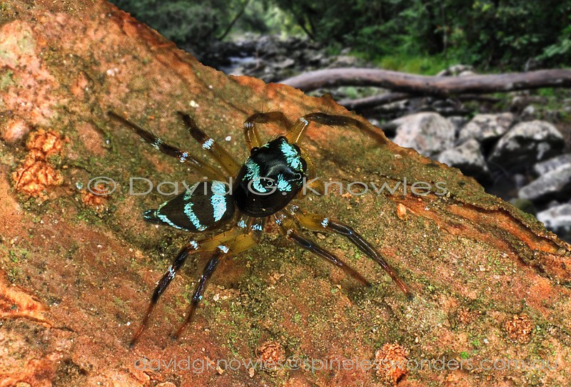 Subadult Zenodorus sp. TBC scans for prey