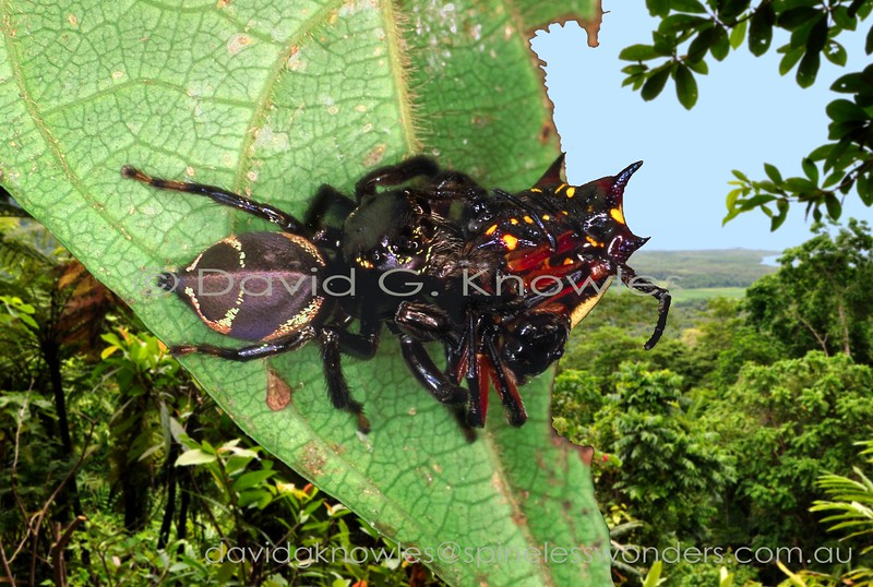 Giant female Zenodorus sp. TBC eating spiny spider spiny spider it has captured from its web
