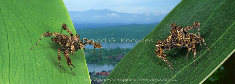 Spider hunting Portia fimbriata concentrating on each other and prey.Portia fimbriata occurs in northern Western Australia, the Northern Territory, Queensland and New Guinea in the east extending through Indonesia and Malaysia as far west as India and Sri Lanka