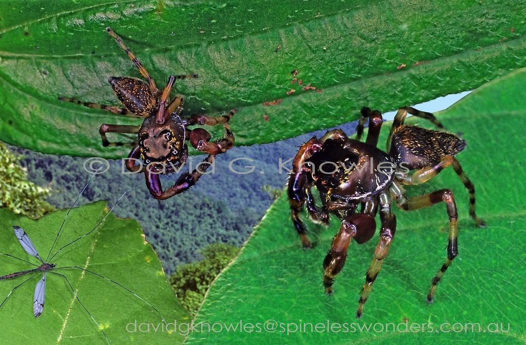 Males of Zenodorus sp. TBC eyeing cranefly prey