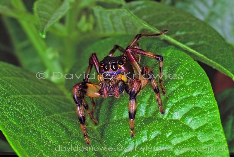 Female Zenodorus sp. TBC prepares to jump