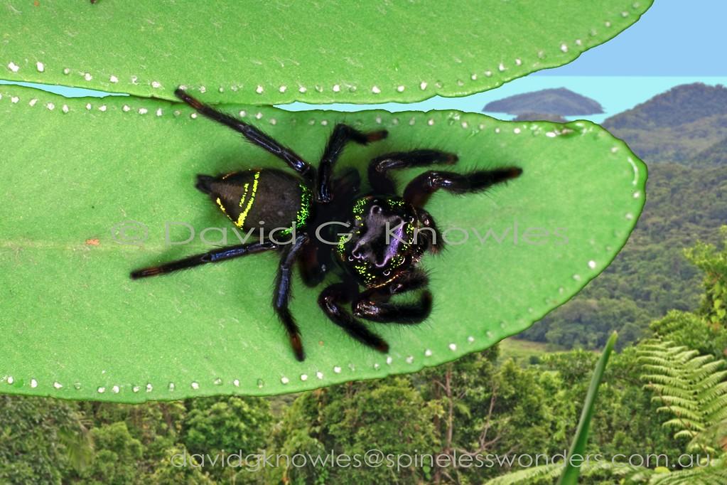 Subadult male metallic Zenodorus sp. TBC scans territory