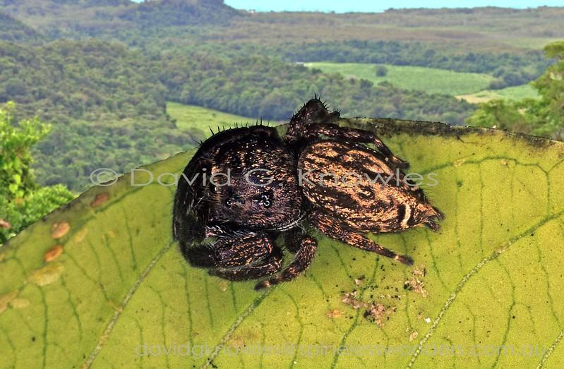 Female Ligurra sp. TBC at rest