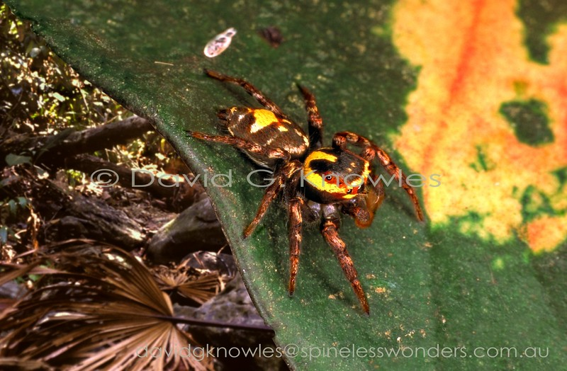 Adult male Cytaea sp. scans territory