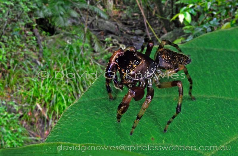 Male Zenodorus sp. TBC spies prey