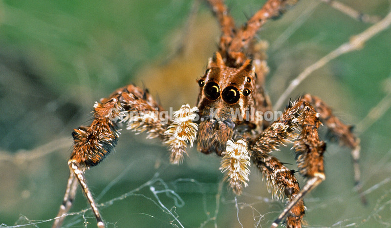 Portia fimbriata resting on its home web. Portia is the only genus of jumping spider that makes a web.Portia fimbriata occurs in northern Western Australia, the Northern Territory, Queensland and New Guinea in the east extending through Indonesia and Malaysia as far west as India and Sri Lanka