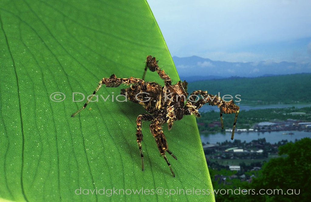 Spider hunting Portia fimbriata spies another planning an assault on a web-building spider.Portia fimbriata occurs in northern Western Australia, the Northern Territory, Queensland and New Guinea in the east extending through Indonesia and Malaysia as far west as India and Sri Lanka