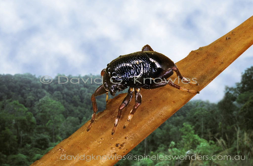 Toxic leaf beetle mimic jumping spider Coccorchestes sp. 2