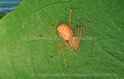 New Guinea Spiders Scytodidae (Spitting Spiders)