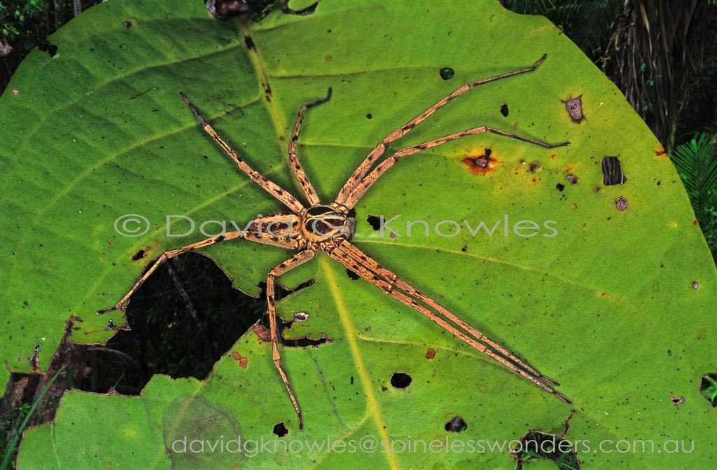 Huntsman spider awaiting prey