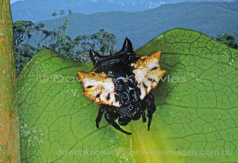 Female Spiny Spider rests on leaf. Gasteracantha sacerdotalis extends from eastern Queensland, northern Northern Territory into New Guinea and eastern Indonesia