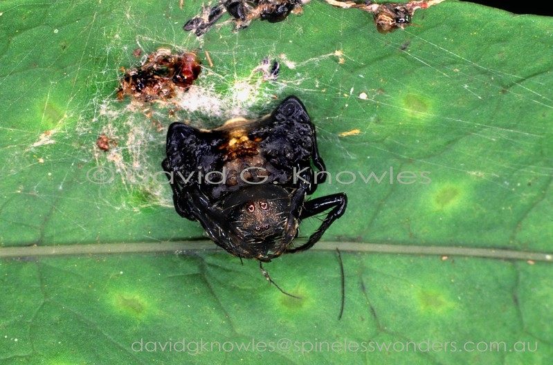 Female webless orbweaver uses agressive bird feces camouflage to entice dung-loving prey