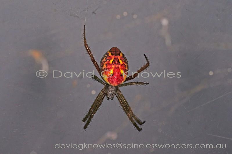 Female tent-web spider awaits prey. Cyrtophora moluccensis occurs in India, Japan, Borneo, Malaysia, Indonesia, Papua New Guinea, Australia, Fiji, and Tonga