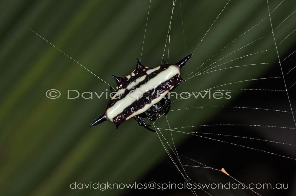 Female spiny spider repairs web margin