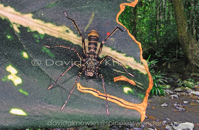 New Guinea Spiders Corinnidae (Corinnid Spiders)