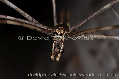 New Guinea Spiders Deinopidae (Ogre-faced Spiders, Net-casting Spiders)