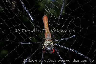 New Guinea Spiders Nephilidae (Golden Orbweavers)