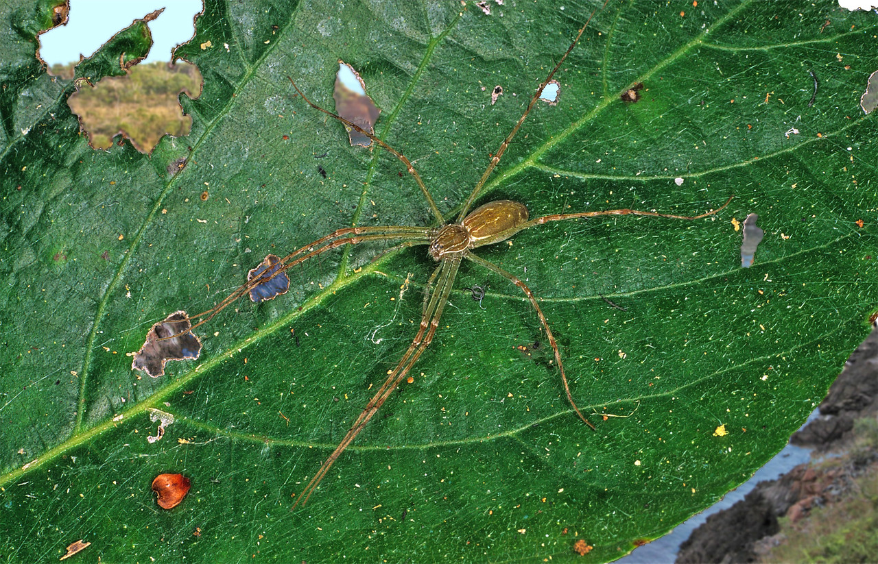 Hygropoda lineata