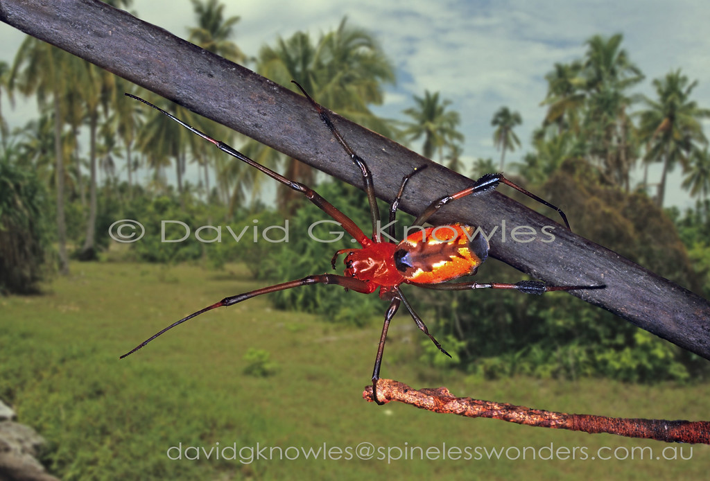 Large-jawed spider showing warning colours prepares to abseil