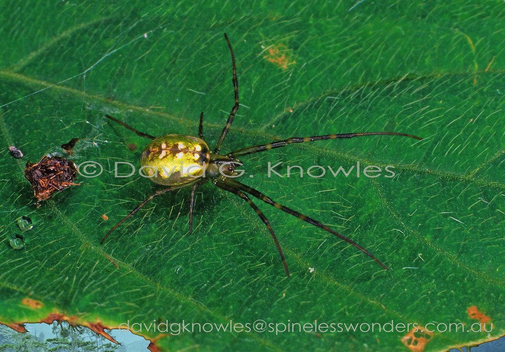 Large-jawed Spider departs from carcass