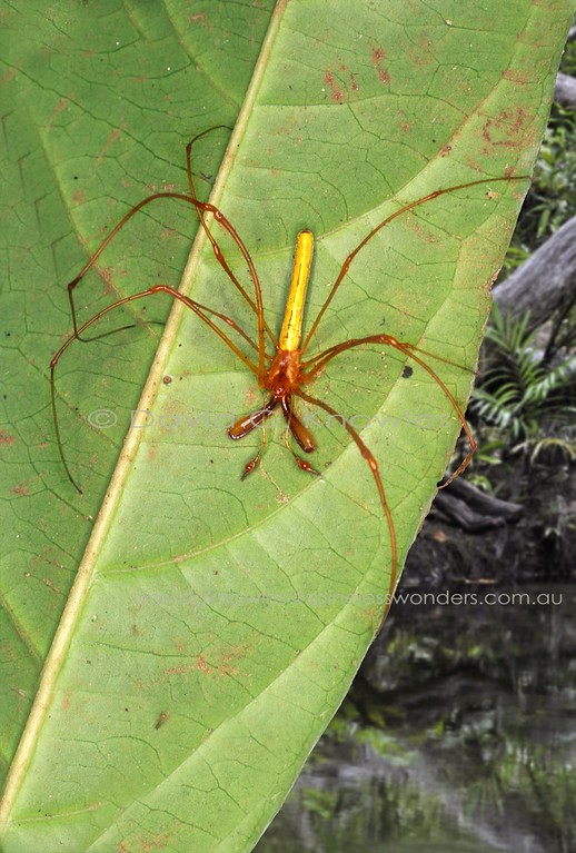 Mature male large-jawed spider, probably Tetragnatha nitens, awaits mating opportunity with nearby web bound female