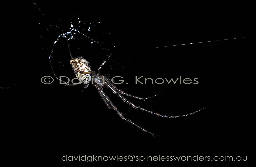 Leucauge granulata occurs from eastern Indonesia to New Guinea and northern Australia