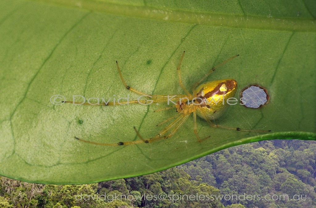 Female Sequined Comb-footed Spider awaits, upside down between to leaves for dusk.   prey